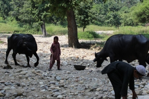 Lal Sen's grandchildren feeding their buffalos in the post monsoon desiccated river bank.