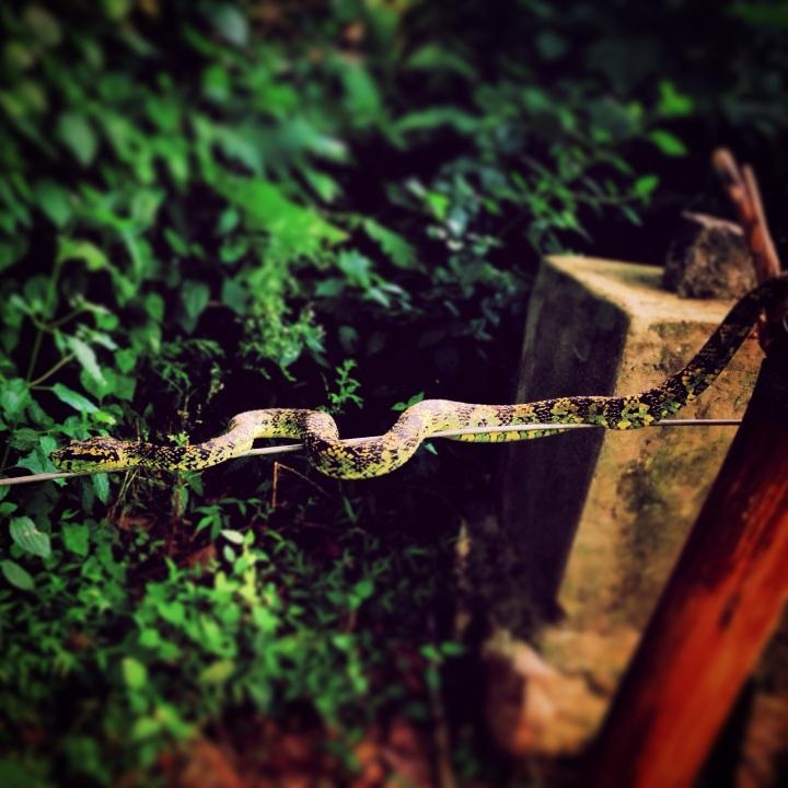 A pit viper
