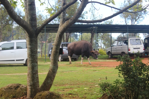 Medium-sized gaur at the office. Cars for scale.
