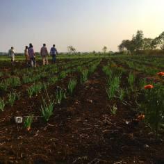 Odlingarna på ett av fältbesöken i Telangana