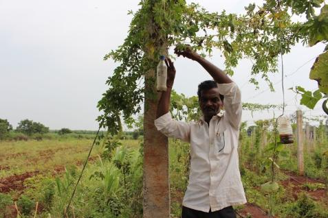 Bonden Gopal hänger upp en ekologisk fälla för fruktflugor.